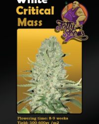 White Critical Mass fatty seeds nasiona konopi feminizowane