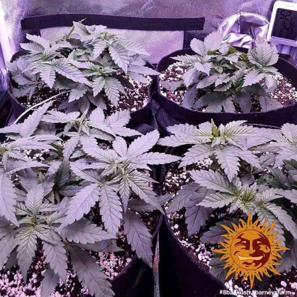 nasiona marihuany 8 Ball Kush Barneys Farm feminizowane