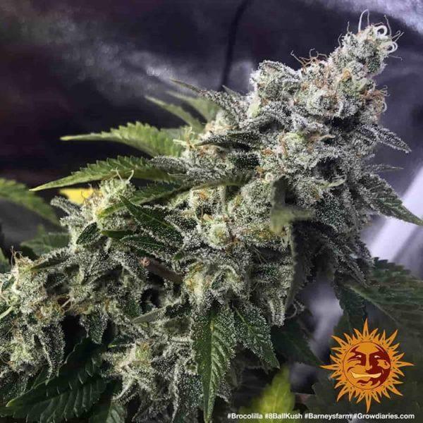 nasiona marihuany Barneys Farm 8 Ball Kush feminizowane
