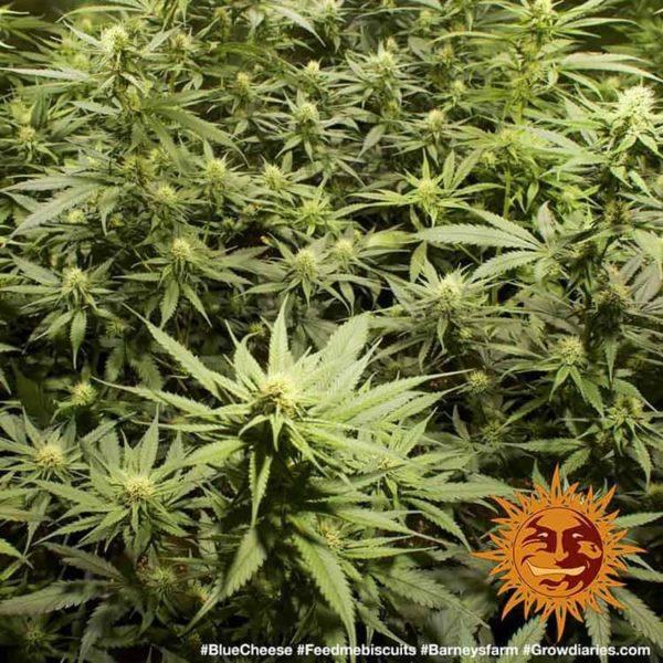 nasiona marihuany Blueberry Cheese Barneys Farm feminizowane
