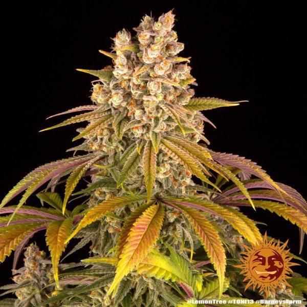 nasiona marihuany Lemon Tree barneys farm feminizowane