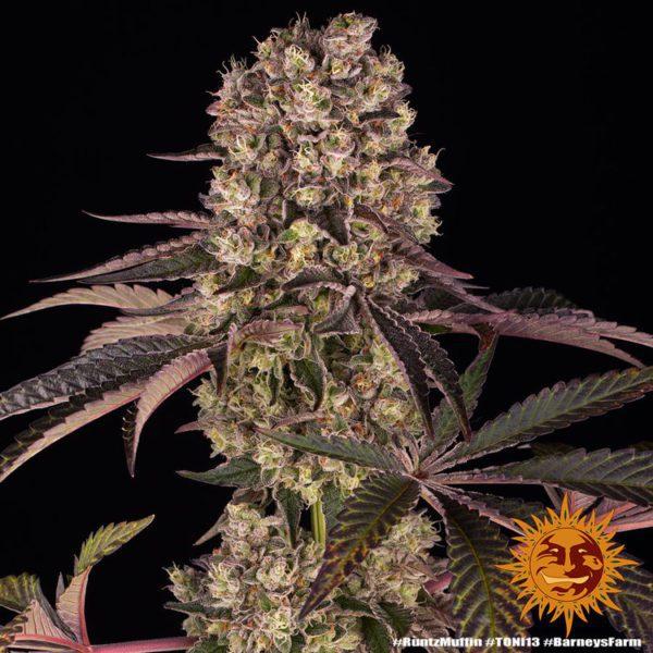 nasiona marihuany Runtz Muffin Barneys Farm feminizowane