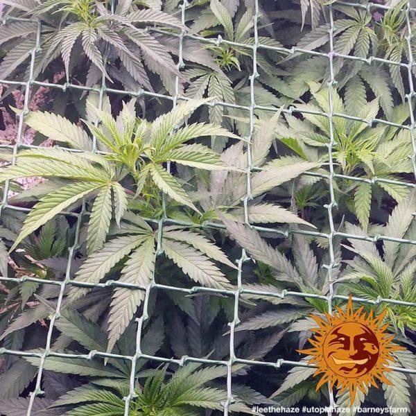 nasiona marihuany Utopia Haze Barneys Farm feminizowane