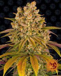 Lemon Tree barneys farm nasiona marihuany feminizowane