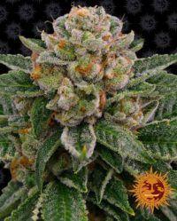 Skywalker OG Auto barneys farm nasiona marihuany feminizowane