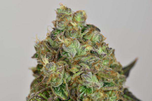 nasiona marihuany folk choco loco