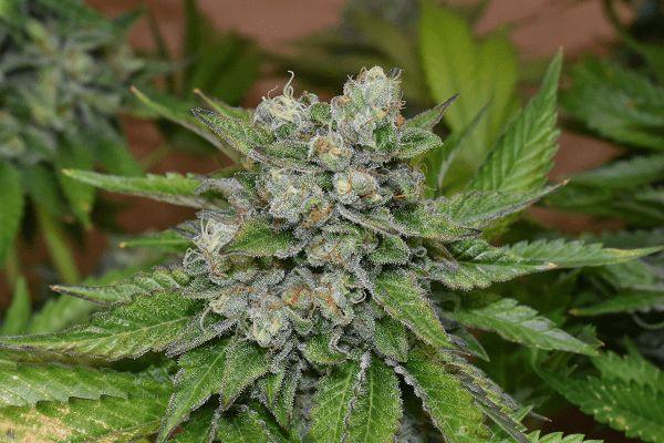 nasiona marihuany folk