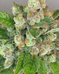 Muffin Berry the outlow seeds nasiona marihuany feminizowane