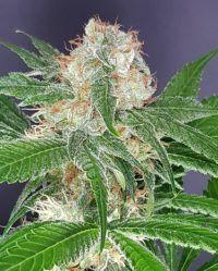 SAT-OKH The Outlaw Seeds nasiona marihuany feminizowane