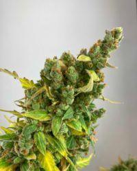 amnesia auto wolne konopie nasiona marihuany
