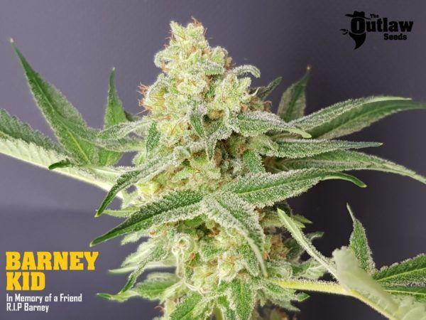 barney kid the outlaw seeds nasiona marihuany feminizowane
