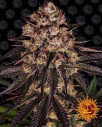 Biscotti Mintz barnys farm nasiona marihuany feminizowane