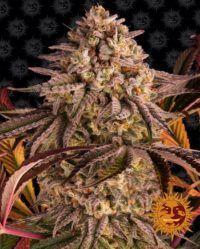 Blue Sunset Sherbert barneys farm nasiona marihuany feminizowane